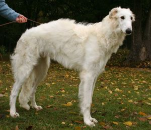 Borzoi, or Russian Wolfhound