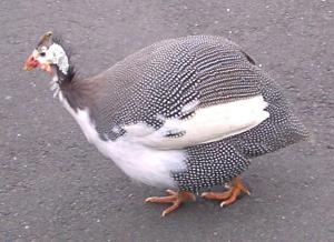 Guinea Fowl.  Proof that god has a sense of humor.